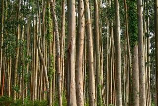 Plantación comercial de eucalipto